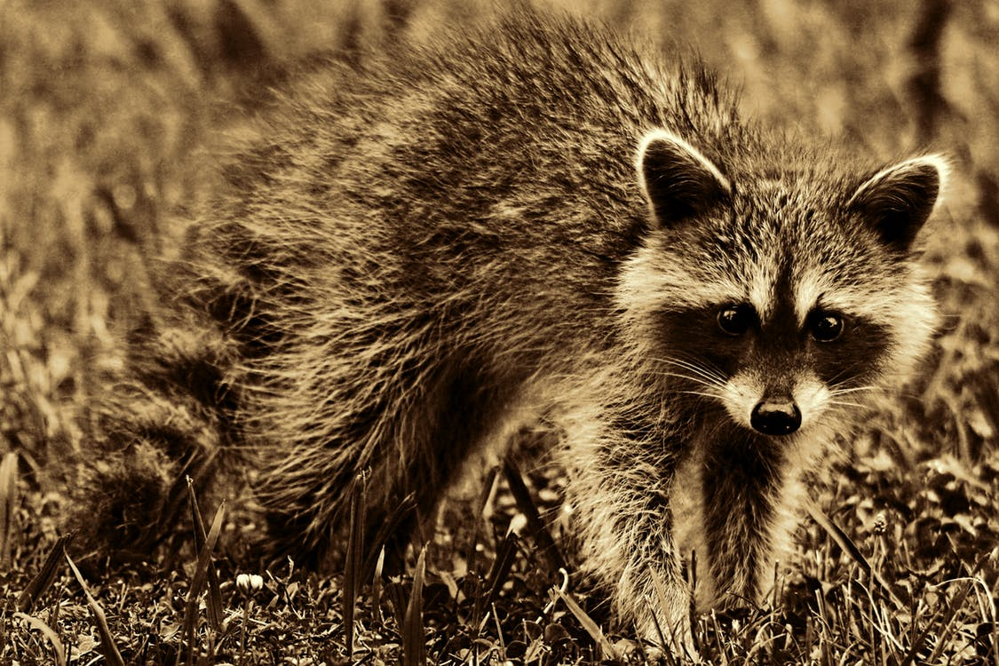 Twelfth Case of Rabies Confirmed in Catawba County