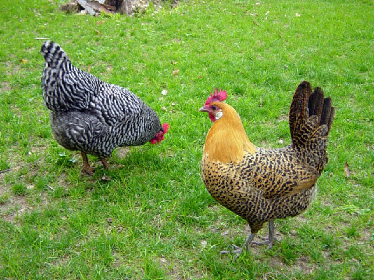 Learn About Backyard Chickens